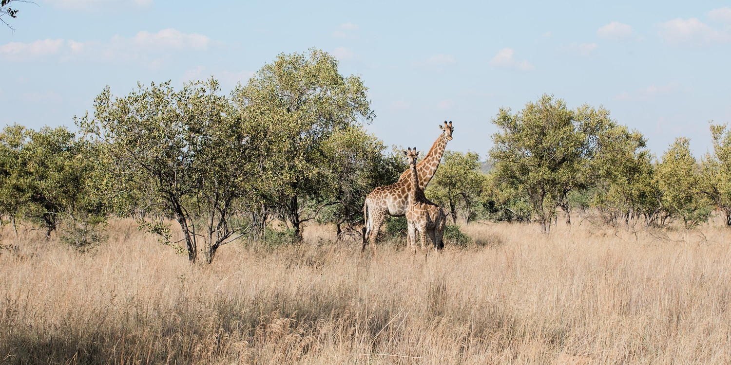 Giraffe wild life game drive big 5
